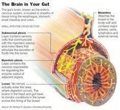 enteric-nerves-system